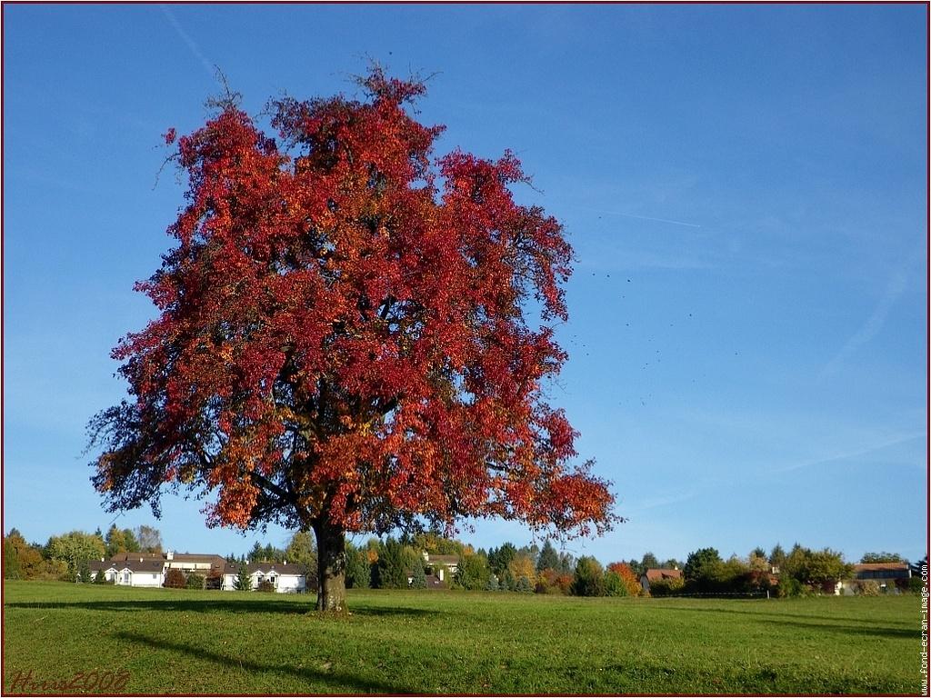 Allo image 0arbre rouge flamboyant - Arbre feuille rouge fruit rouge ...